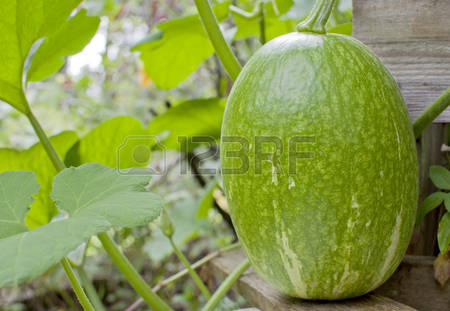 Melon Squash Stock Photos & Pictures. Royalty Free Melon Squash.