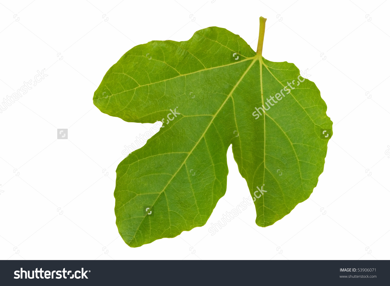 Symbolic Fig Leaf, Isolated Over White. Stock Photo 53906071.