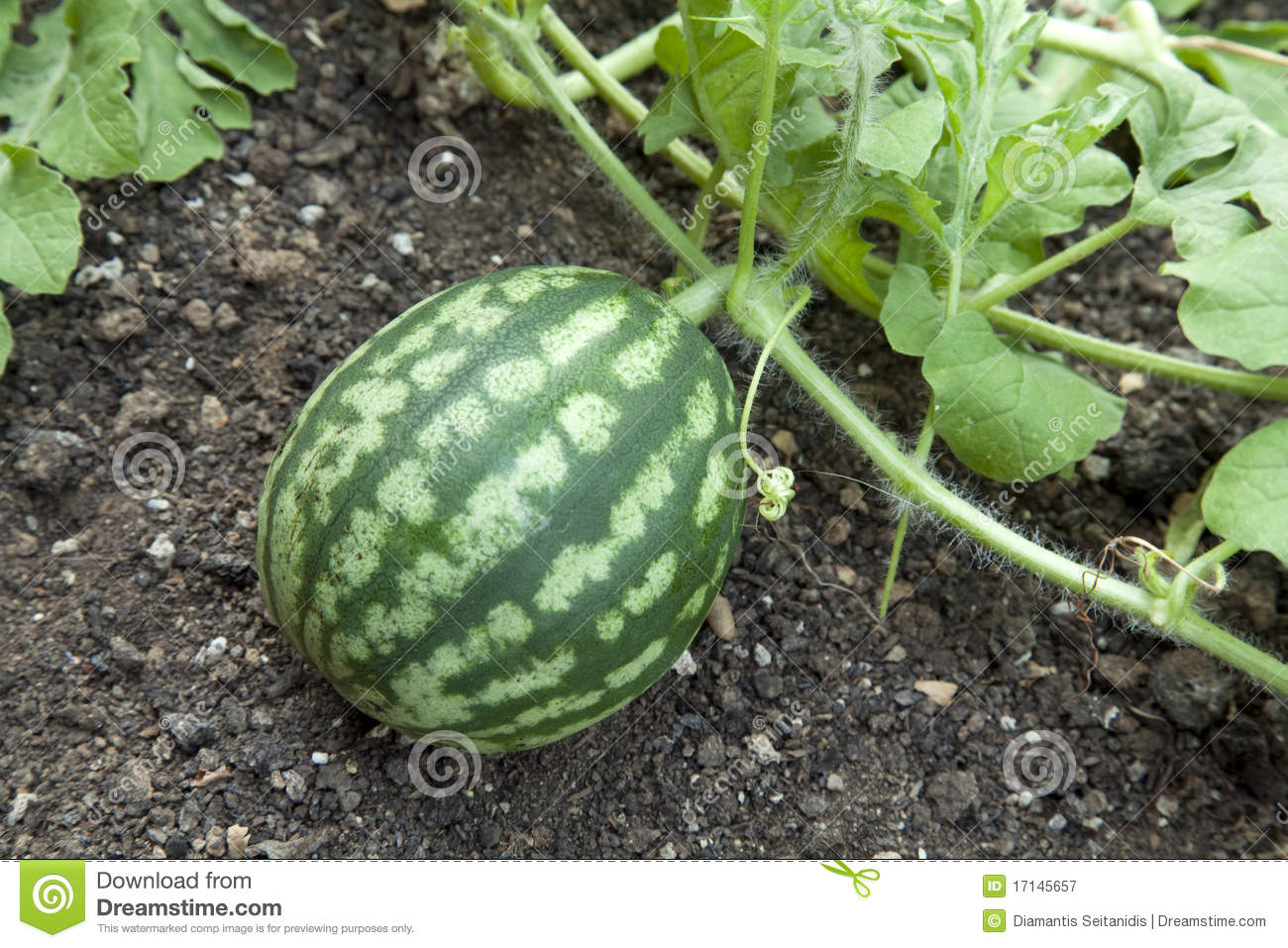 Watermelon Plant Royalty Free Stock Photography.