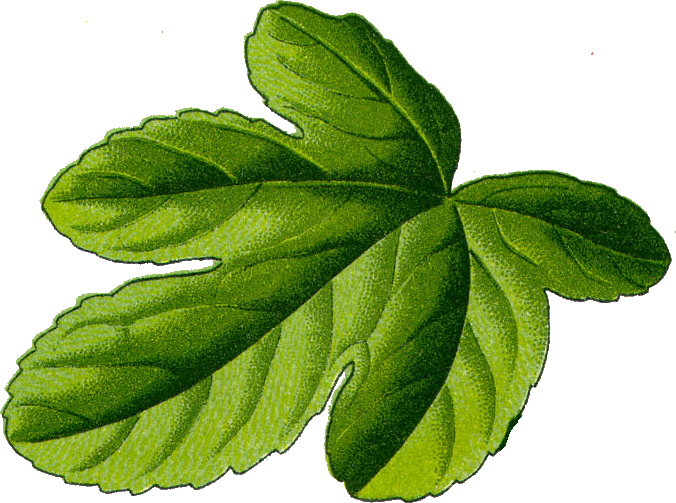 File:Fig leaf.png.