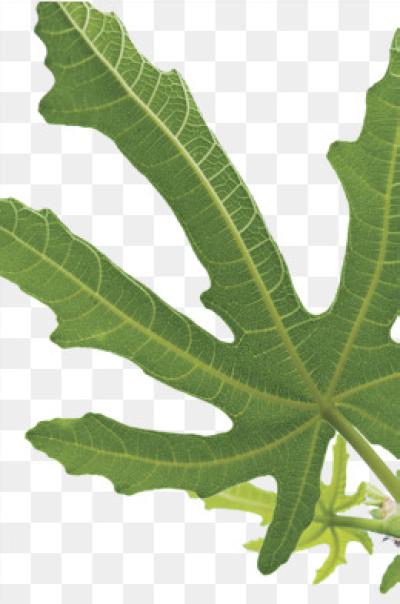 Fig Leaf Png.