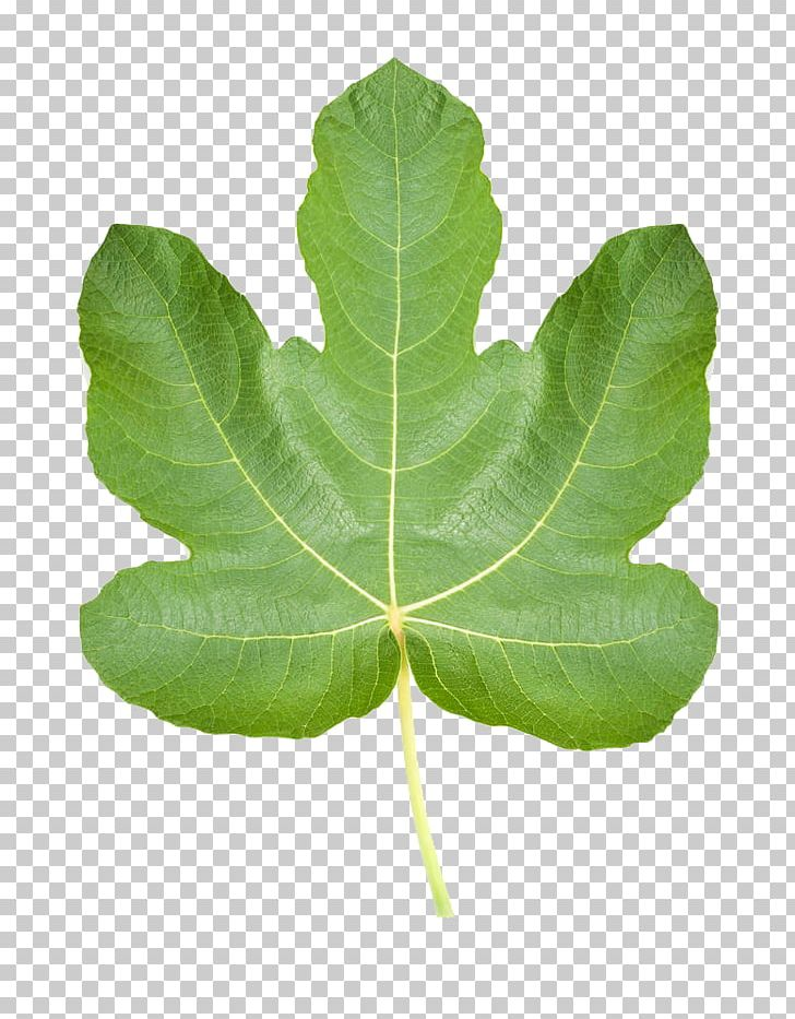 Common Fig Ficus Pumila Fig Leaf Stock Photography PNG, Clipart.