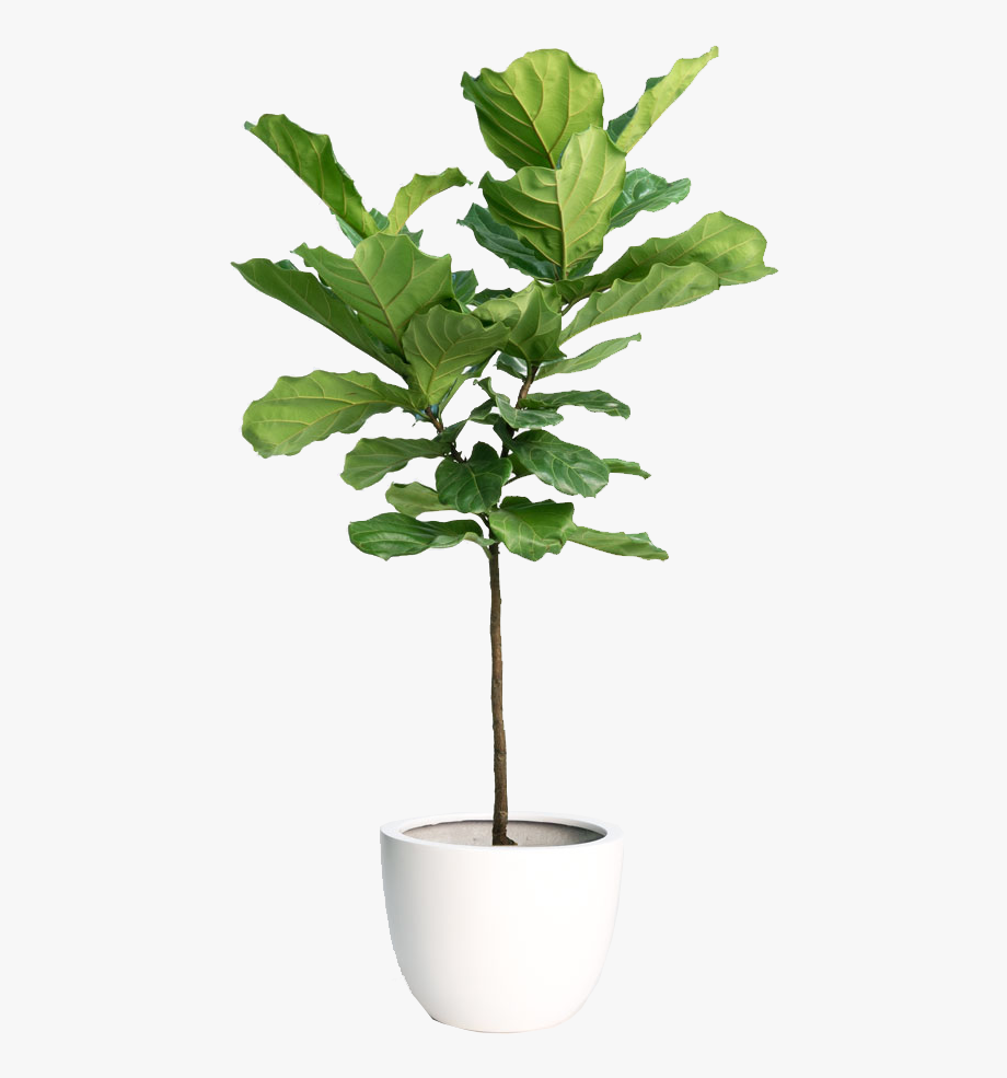 Fiddle Leaf Fig Tree.