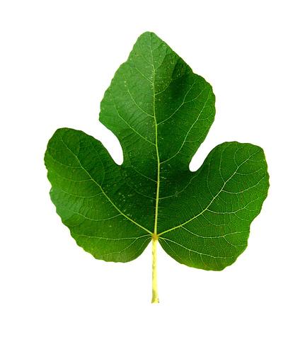 Fig Leaf Png 1 » PNG Image #211134.