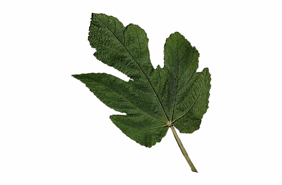 Transparent Fig Leaf Png, Transparent Png Download For Free #85516.