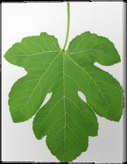 Download Fig Leaf PNG Image with No Background.