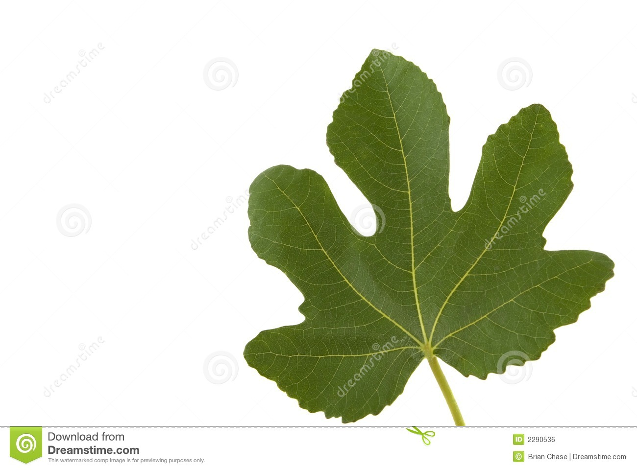 Fig Leaf Royalty Free Stock Image.