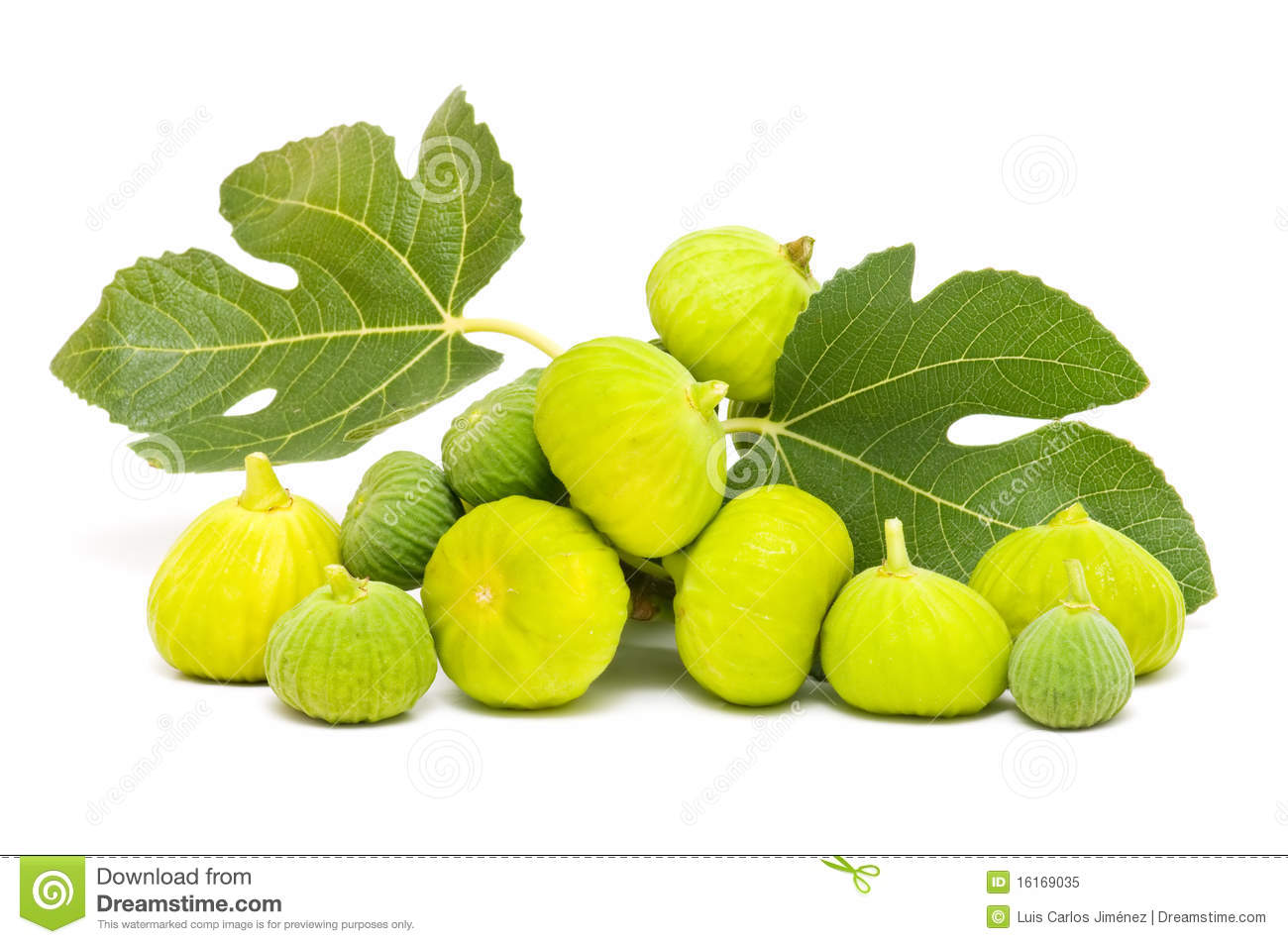 Yellow Fig Leaves Stock Photos.