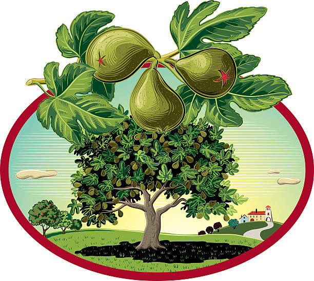 Best Fig Tree Illustrations, Royalty.