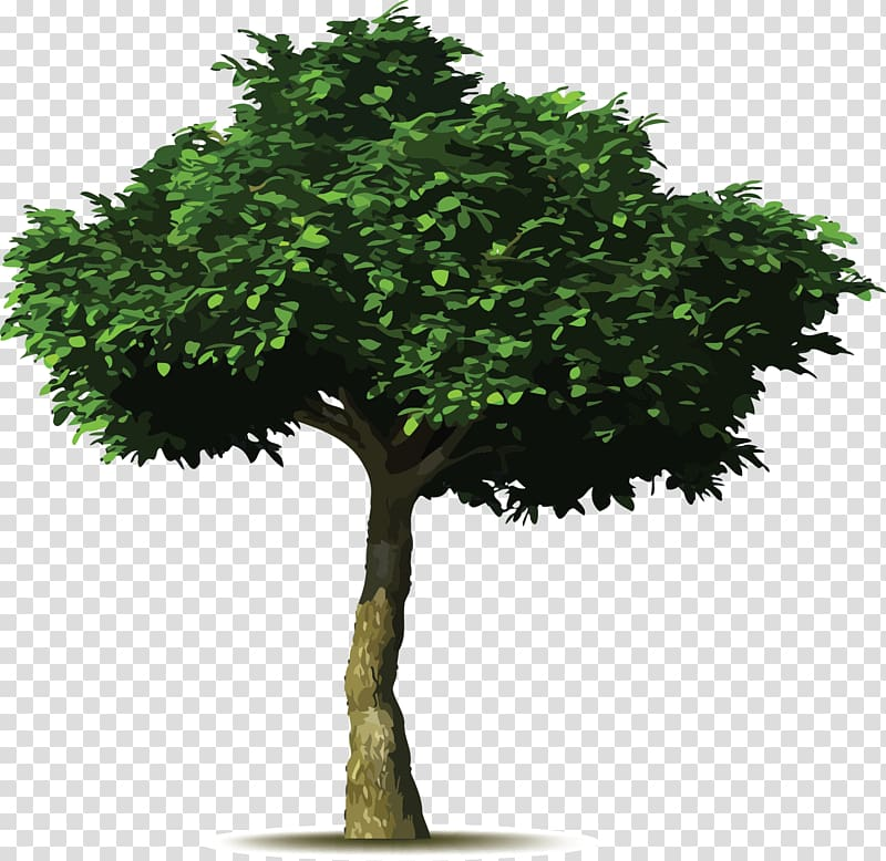 Weeping fig Common fig Tree planting Tree planting, walnut.