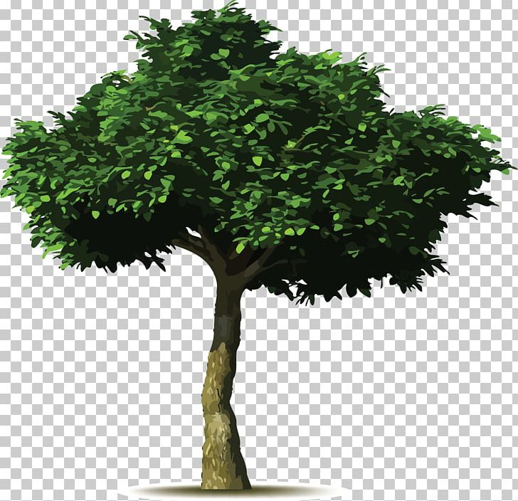 Weeping Fig Common Fig Tree Planting Tree Planting PNG, Clipart.