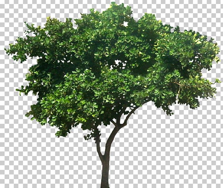 Populus Nigra Common Fig Tree Plant PNG, Clipart, Architecture.