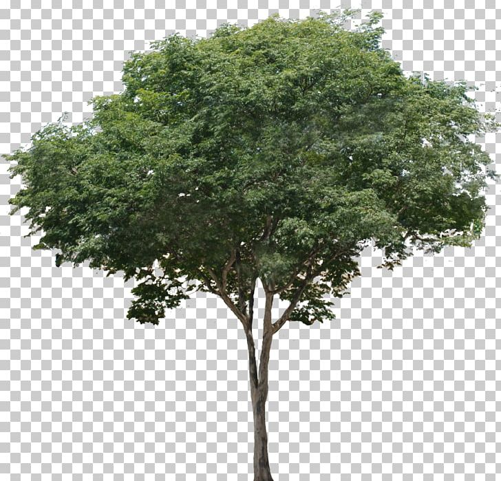 Common Fig Tree Branch Tropical Rainforest PNG, Clipart, Branch.
