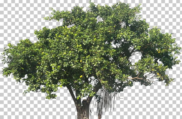 Ficus Microcarpa Banyan Plant Tree PNG, Clipart, Banyan, Branch.