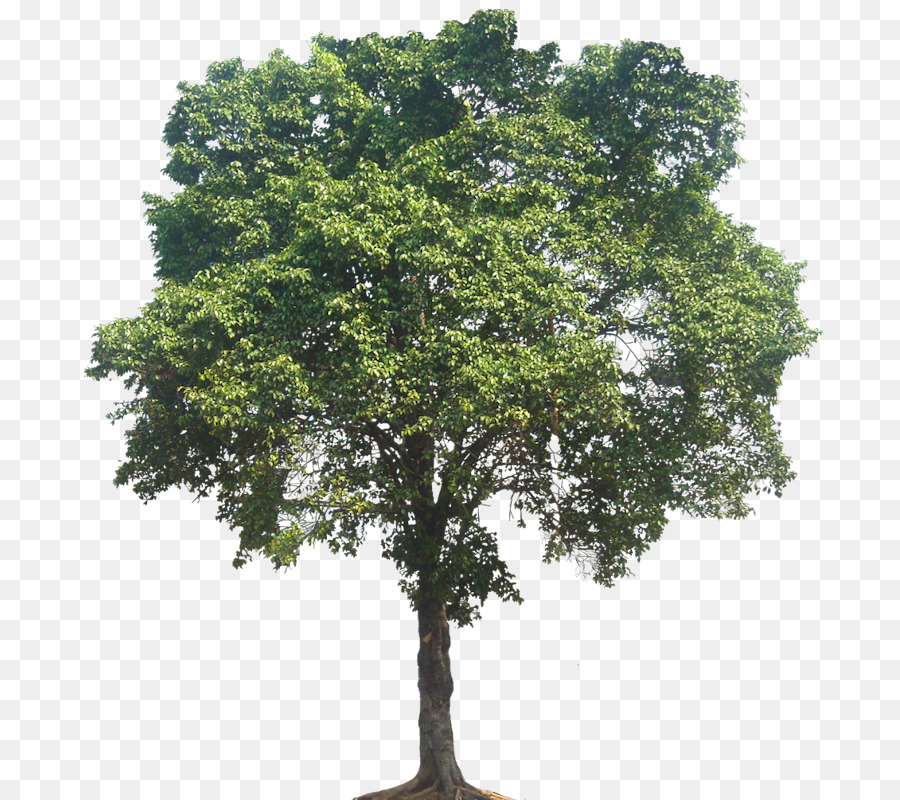 Fig Tree png download.