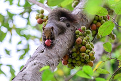 Green Fig Fruit Forest Stock Photos, Images, & Pictures.