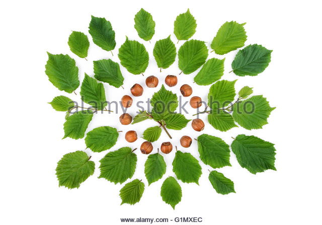Hazelnut Leaf Stock Photos & Hazelnut Leaf Stock Images.