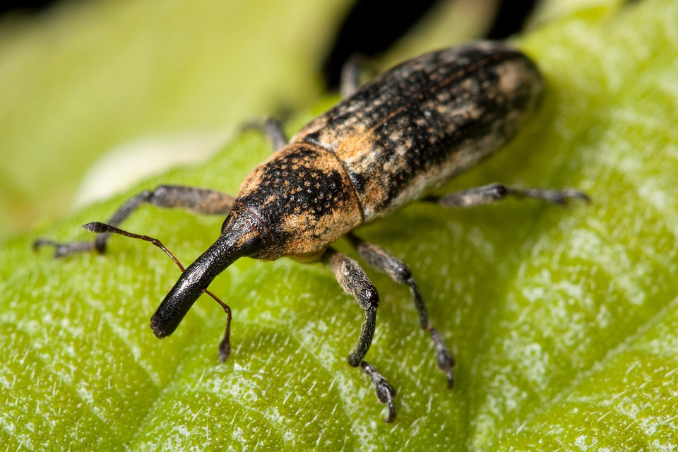 Free photo Beetle Macro Weevil Snout Insect Bug.