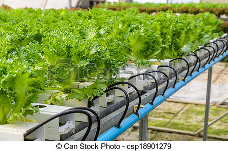 Picture of Filey Iceberg lettuce Hydroponic vegetables plantation.