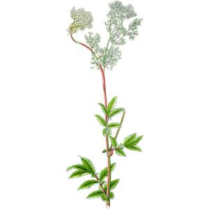 Filipendula ulmaria meadowsweet.
