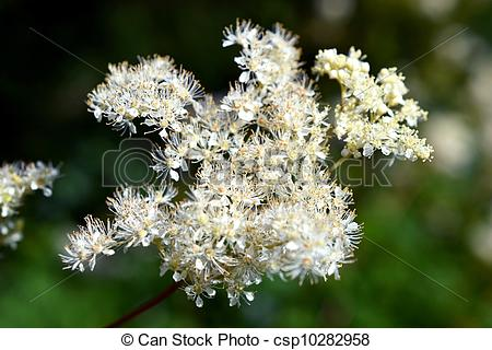 Stock Images of Meadowsweet or Filipendula Ulmaria.