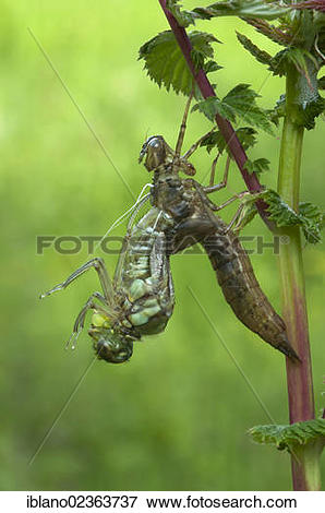 "Picture of ""Southern hawker (Aeshna cyanea), eclosing, on."