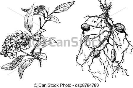 Vector Clipart of Spirea Lanceolate, Dropwort Meadowsweet, vintage.