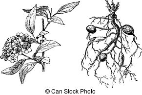 Meadowsweet Illustrations and Clip Art. 12 Meadowsweet royalty.