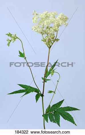 Stock Photo of Meadowsweet (Filipendula ulmaria), stem with flower.