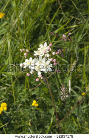 Dropwort (Filipendula Vulgaris), Also Known As Fern.