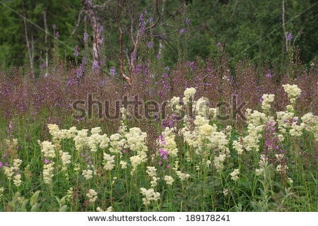 Filipendula Stock Photos, Royalty.