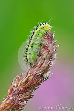 Caterpillar Of The Six.