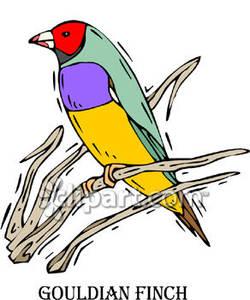 Gouldian Finch.