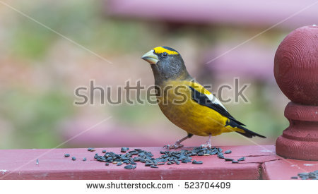 Male And Female Finches Stock Photos, Royalty.