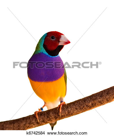 Gouldian finches Stock Photos and Images. 79 gouldian finches.