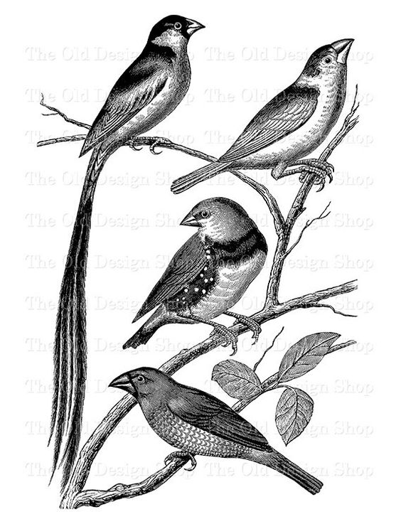 Bird Clip Art Vintage Sparrow Finch Printable Illustration Digital.