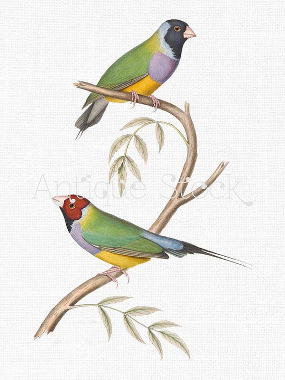 Gouldian Finch Bird Antique Image.