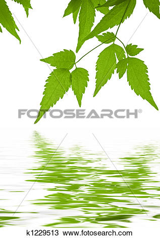Drawing of Green leaves clematis reflected in water k1229513.
