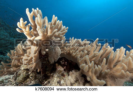 Stock Photo of Finger leather coral in the Red Sea. k7608094.