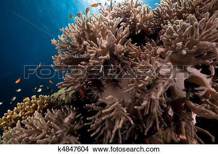 Stock Photo of Finger leather coral in the Red Sea. k4847604.
