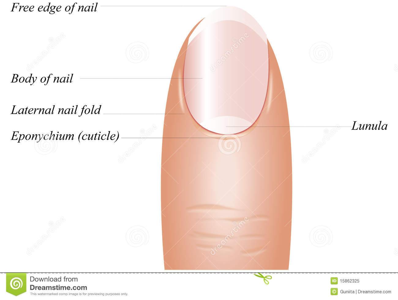 Finger Nail Clipart.