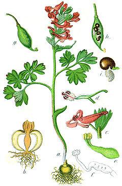 Deutschlands Flora in Abbildungen (1796)/ 6. Buch.