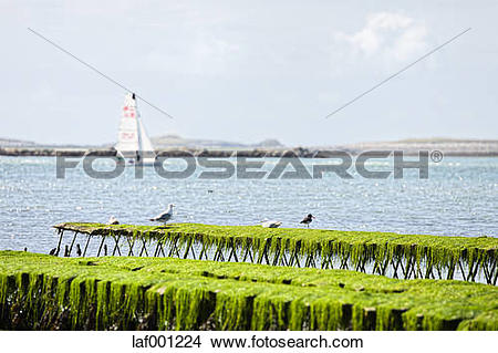 Stock Photo of France, Brittany, Finistere, Landeda, oyster.