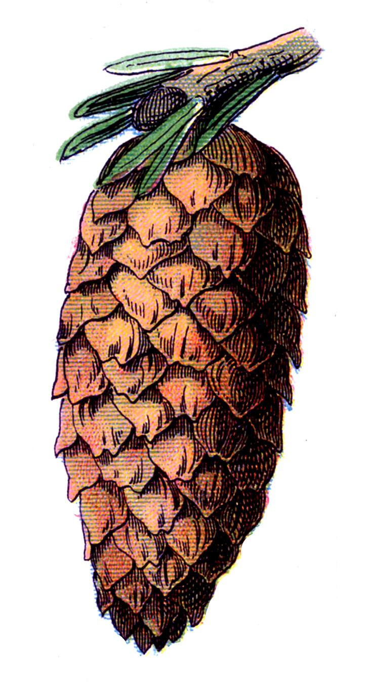 1000+ images about References: Pine cones on Pinterest.