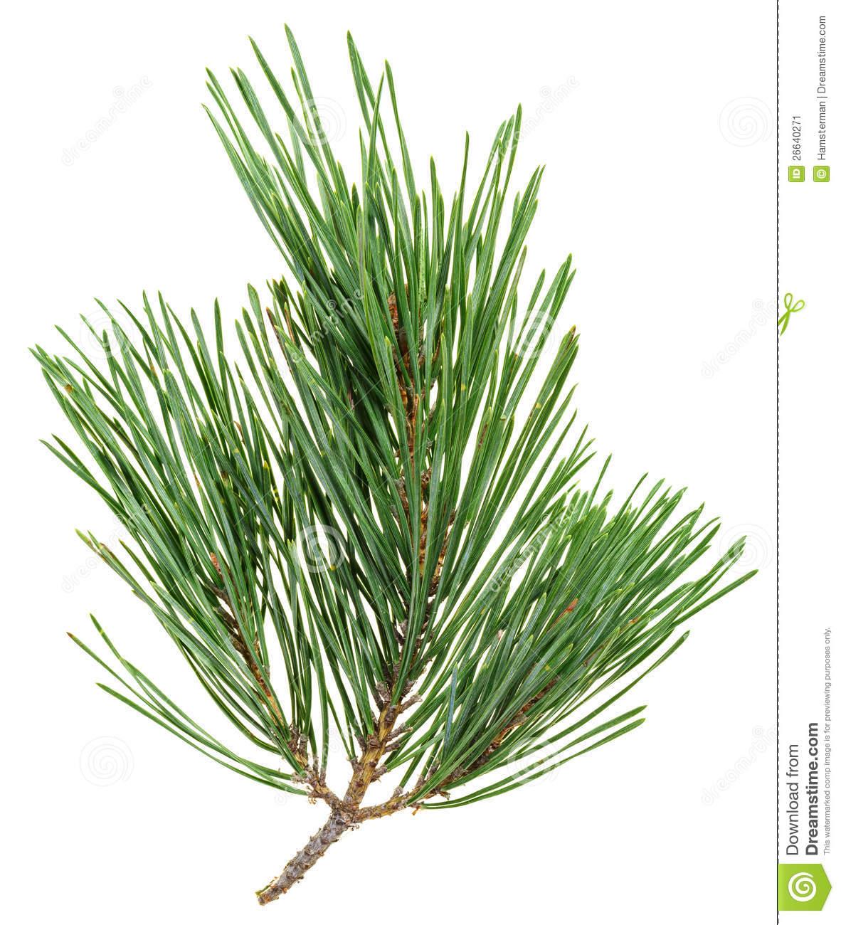 Pine Needle Clipart.
