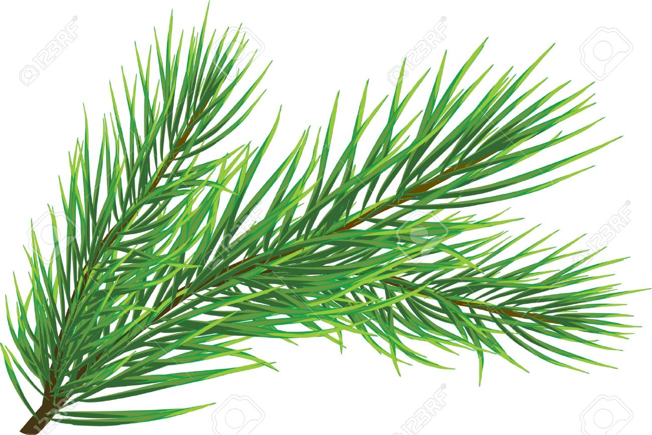 Fir Twig Isolated On White (vector) Royalty Free Cliparts, Vectors.