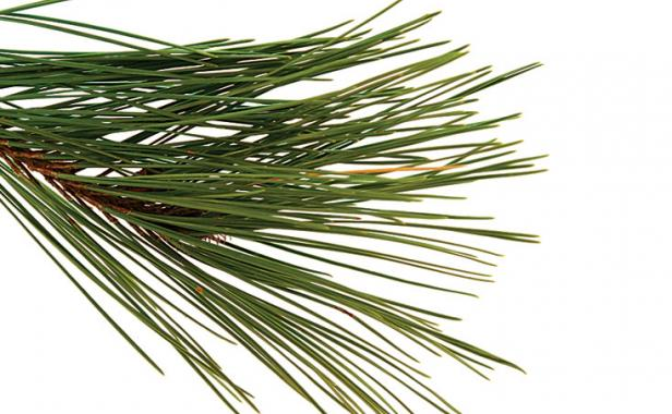 How to Prune Conifers.