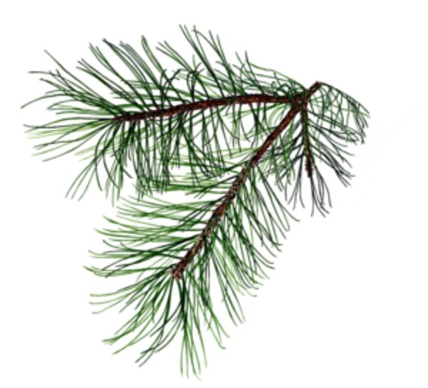1000+ images about pine tattoo on Pinterest.