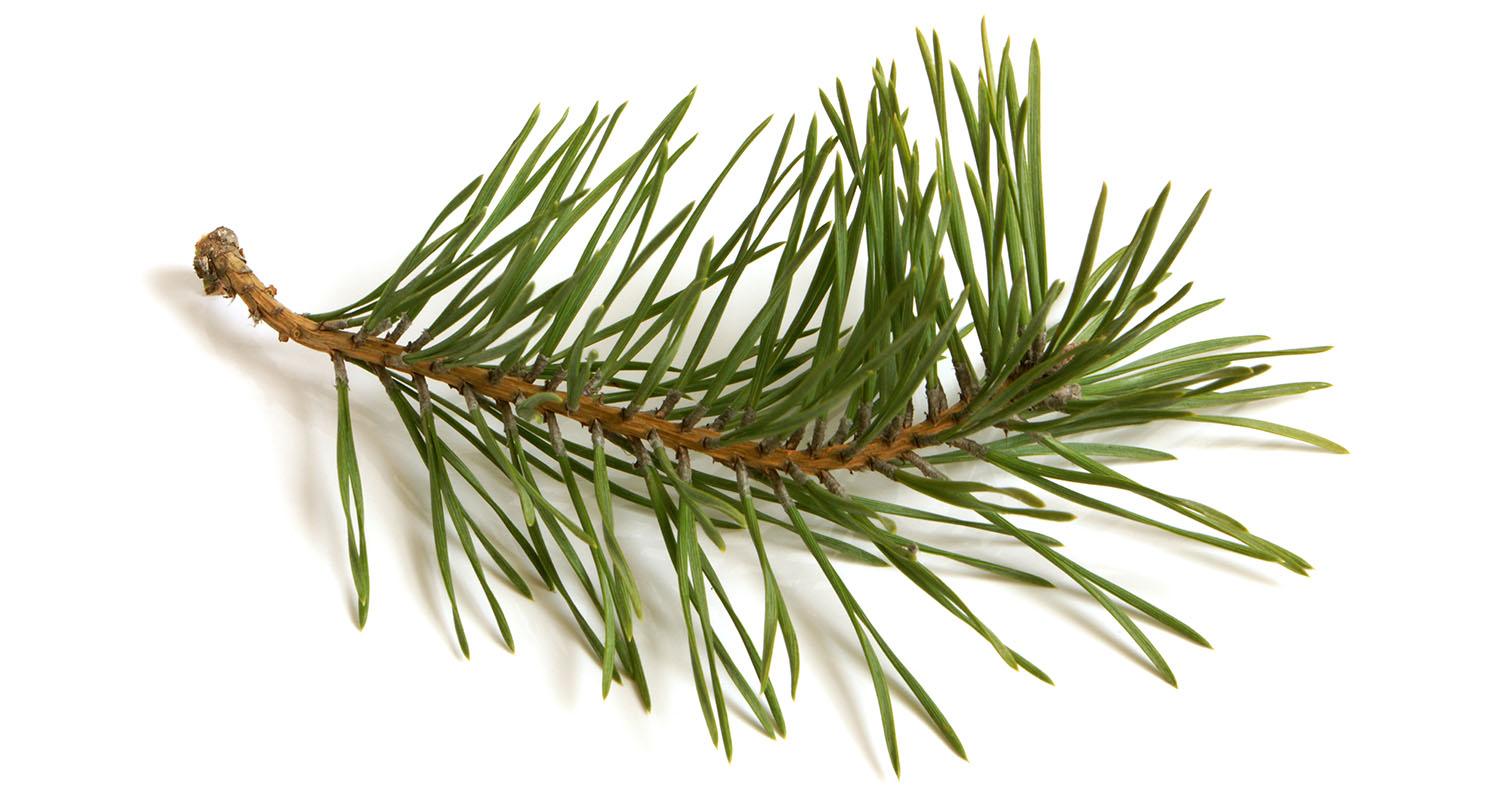 Pine Needle Products.