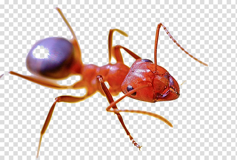 Red imported fire ant Pest control Red harvester ant Insect.